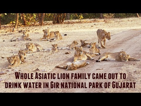 The whole Asiatic lion family came out to drink water in the Gir national park of Gujarat