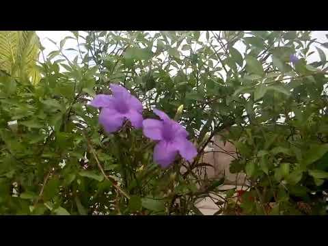 791 Mehndi Henna Plant Lawsonia Inermis Ko Kaise Grow Karen