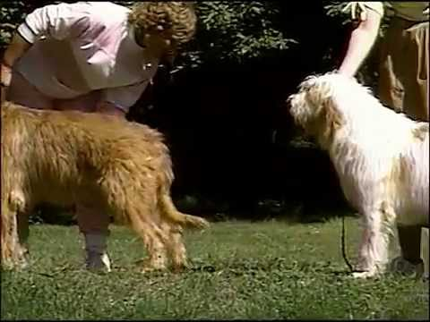 Otterhound - AKC Dog Breed Series