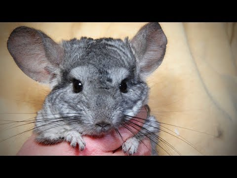 Funny Chinchilla 🐭Funny and Cute Chinchilla  Funny Pets