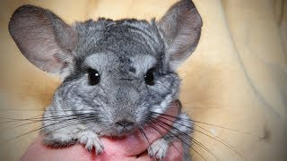 chinchillas being funny