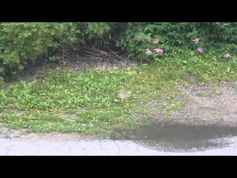 Otaniemi bunnies 1 (2015-07-22)