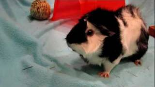 Revy the guinea pig super loud wheeking and squealing for food