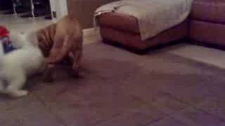 Dog De Bordeux, Shar-pei Puppies Fighting
