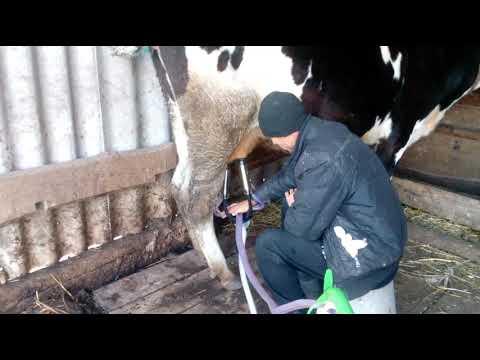 приучаем коров к доильному аппарату//первая дойка для коровы и аппарата