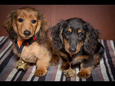 Romanee & Conti - Miniature Dachshund Puppies - 4 Weeks Residential Dog Training
