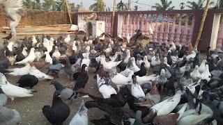 High flying piegion in bhubaneswar..odIsha!! Indian high flying pigeon!! Top high flying pigeon!!