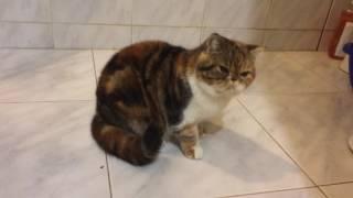Реакция кошки на скотч