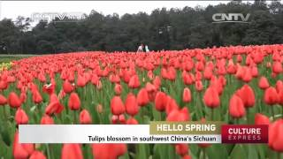 Tulips blossom in southwest China