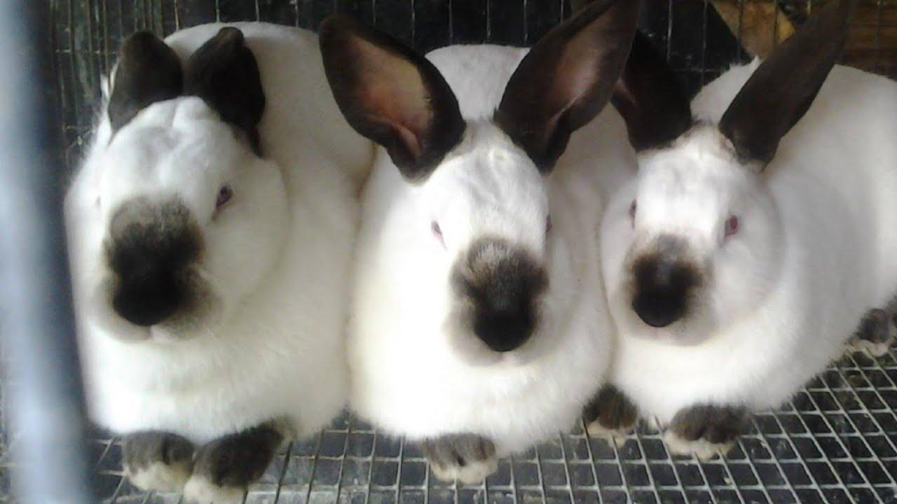 California White Rabbits   Large Bountiful Meat Producers - YouTube