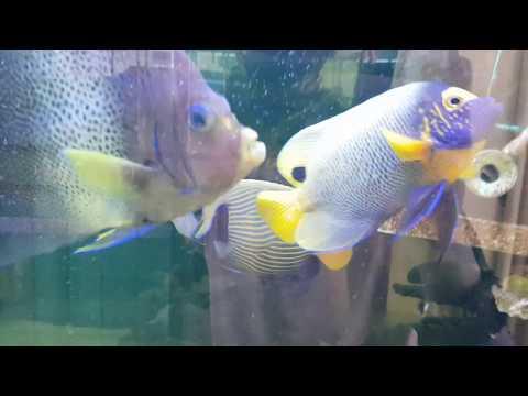 Emperor Angelfish Adding To My Saltwater Tank