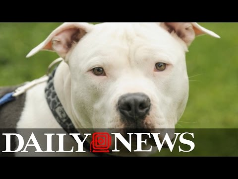 Pit Bull Kills 9-year-old Girl on Long Island