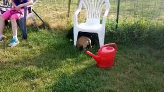 Boxer Lab Mix Puppy [11 Weeks] Plays With French Bulldog Puppy!
