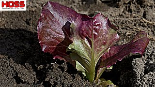 Maximize Your Garden Space with This Lettuce Planting Technique!