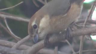 モズの夫婦 ツバメ bull-headed shrike pair, swallow.