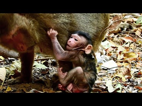 Terrible !! Mum not breastfeed newborn until angry, Mum bring new baby to fight old monkey, Baby