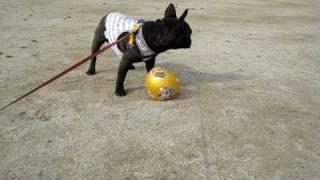 公園で落ちてるボール発見して 一目散にボールに駆け寄った空さんです。...