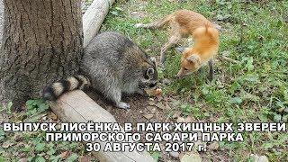 Выпуск лисёнка в Парк хищных зверей Приморского Сафари-парка 30 августа 2017 г.