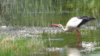 Stork vs frog 1-0