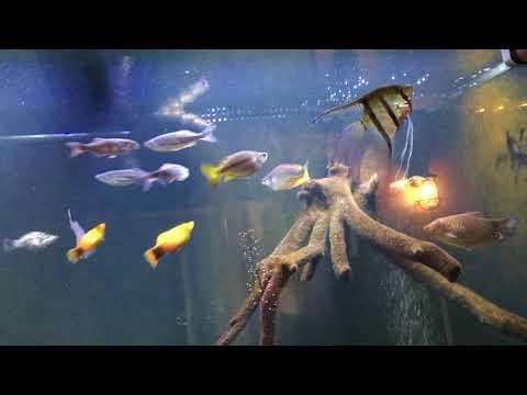 Angelfish And Oscars