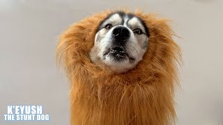 husky-moans-about-becoming-a-lion