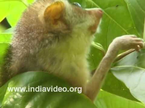 The large-eyed Slender Loris