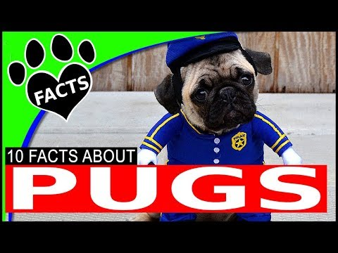 Dogs 101: Pugs Most Popular Small Dog Breeds - Animal Facts
