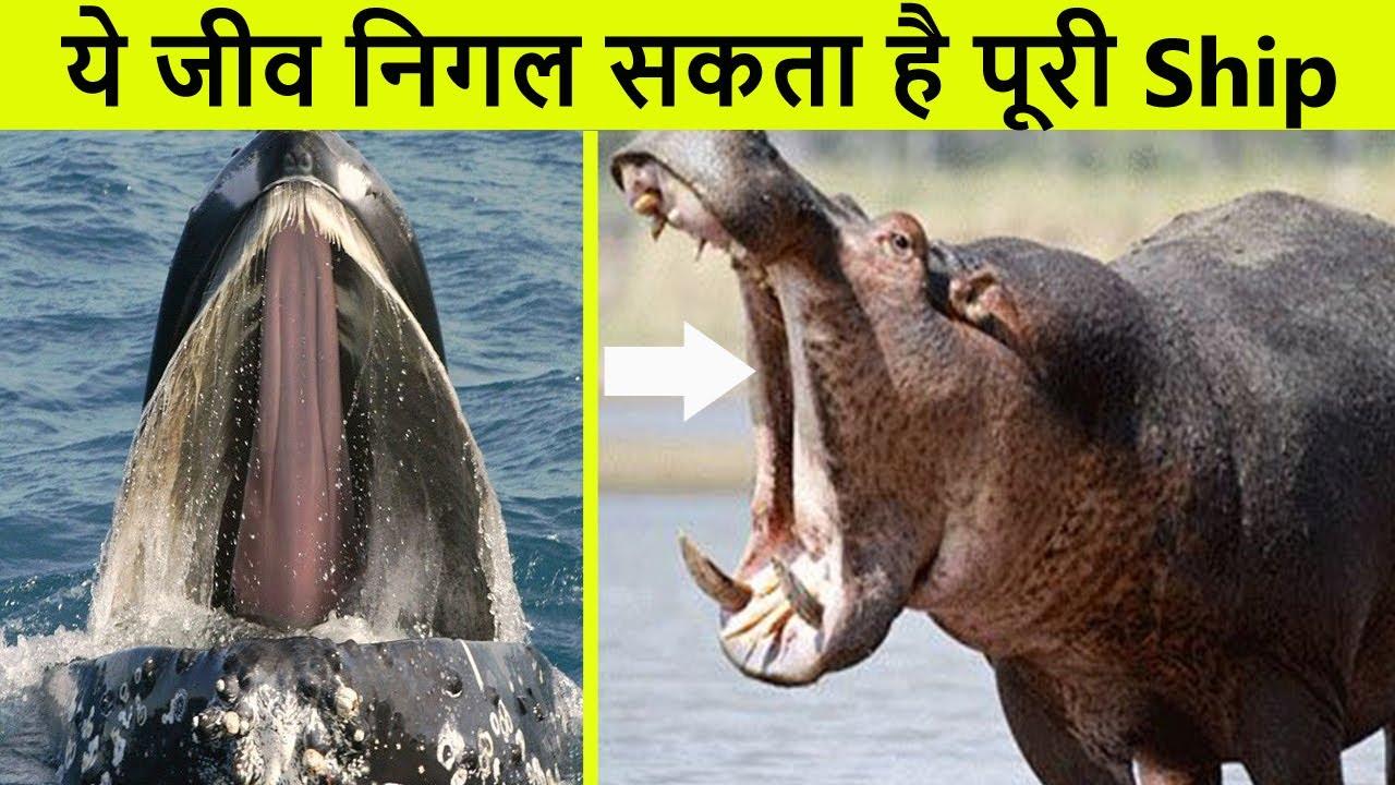 दुनिया के सबसे बड़े जबड़ों वाले जीव | Creatures with largest mouths