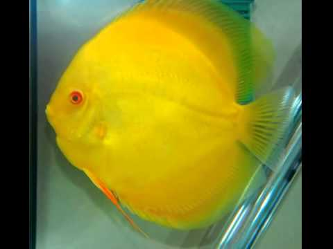 Yellow diamond discus fish available in shop mulund mumbai for Discus fish for sale cheap