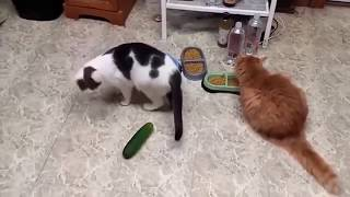Кошки против Огурцов Супер прикольно
