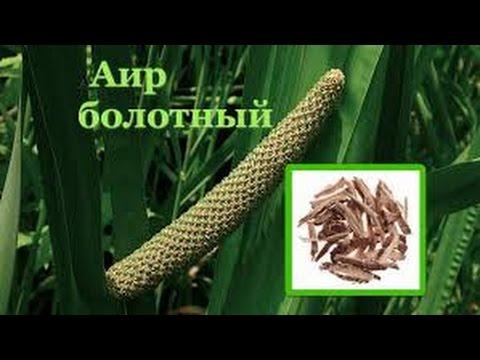 Аир болотный - применение, лечение, свойства, рецепты