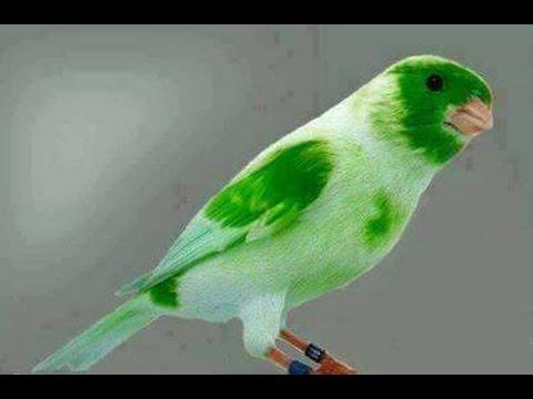 كناري اجمل تغريد وصوت 2017 Canary Beautiful Song And The Sound Of 2017 Youtube