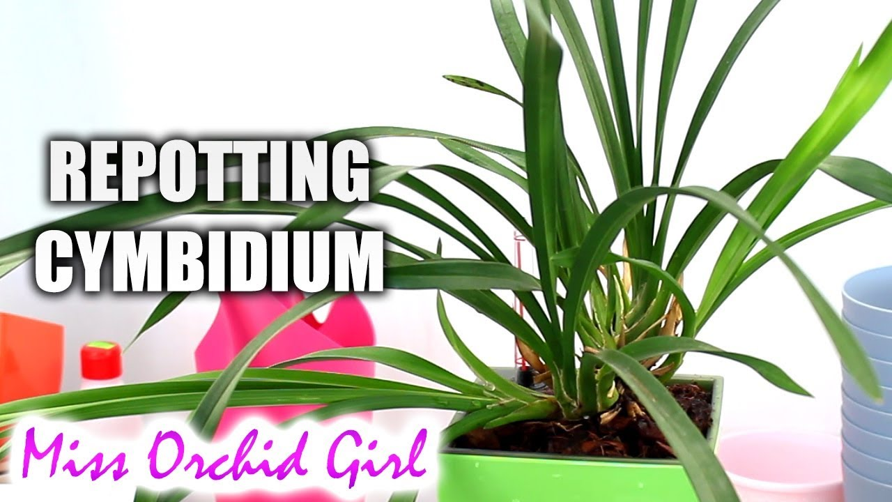 Repotting Cymbidium Orchid In Lechuza Self Watering Pot Youtube