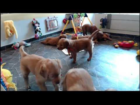 Golden Retriever Puppy Cam Live Stream