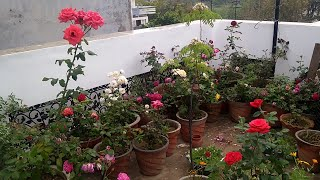Overview of my rose garden/my rose plant collection