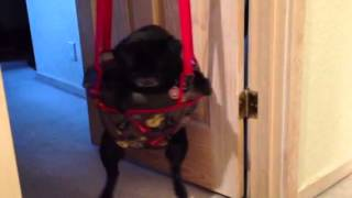 Cute Pug Edi Loves Swinging In The Baby Jumper