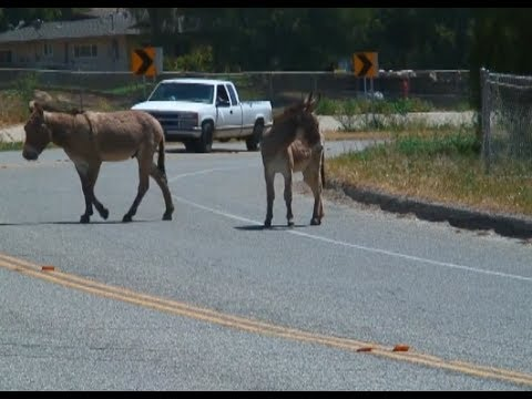 MORENO VALLEY: Donkeys are in a gray area of law, ownership