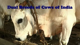 Dual Breeds of Cows of India