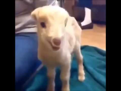 Wimpy Goat Mans Up To Unleash Ferocious Scream