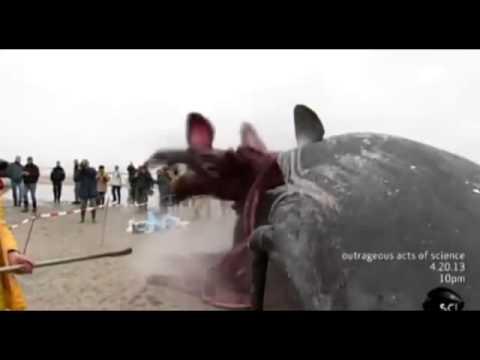 Whale Carcass Explodes on Dutch Beach
