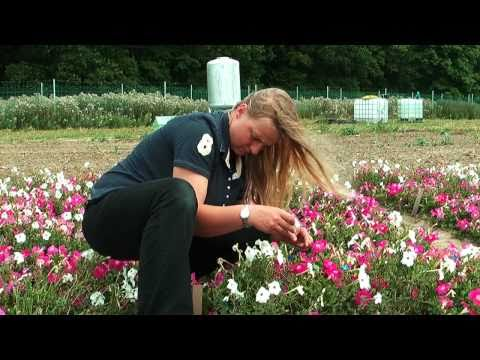 Field trial with genetically modified petunias