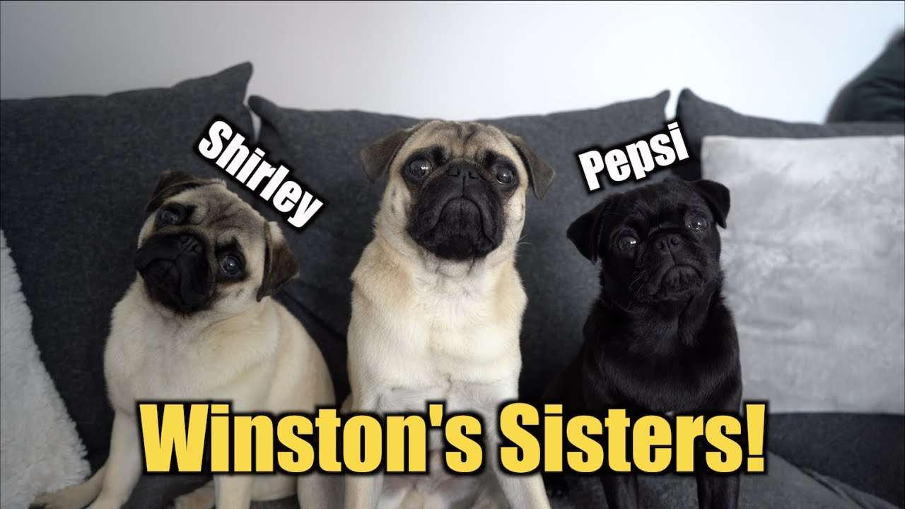 Winston's Sisters Came To Stay With Us! *5 PUGS!*