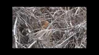 ニホンイタチ (Mustela itats, Japanese weasel)
