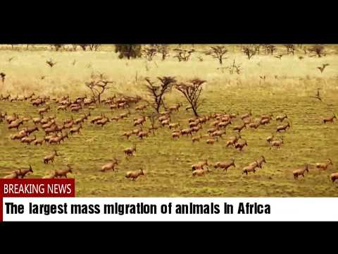 South Sudan Wild animals largest immigration in the world.