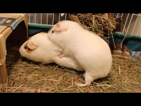 Guinea Pig Loves Humping Her Friends