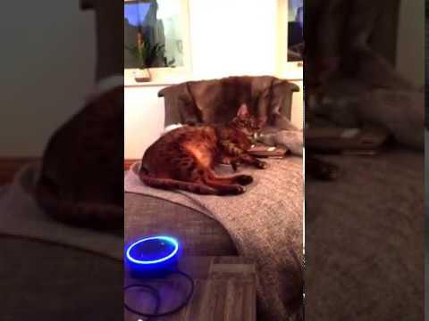 Amazon Alexa talking to my bengal cat chiefy