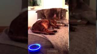 Amazon Alexa talking to my bengal cat chiefy