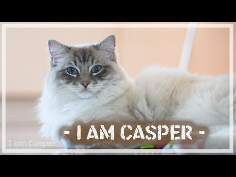 I am Casper - Seal Point Lynx Mitted Ragdoll - Adventure Cat Videos