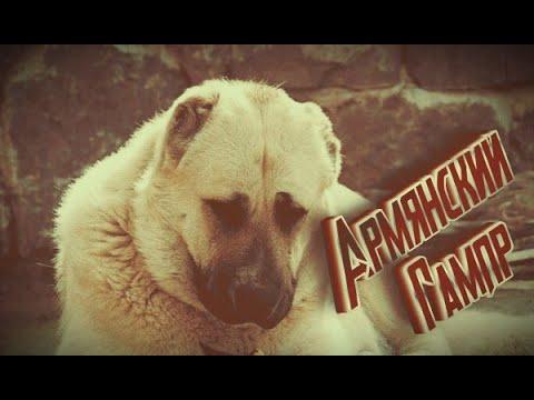 Бойцовские собаки-Армянский волкодав (ГАМПР)