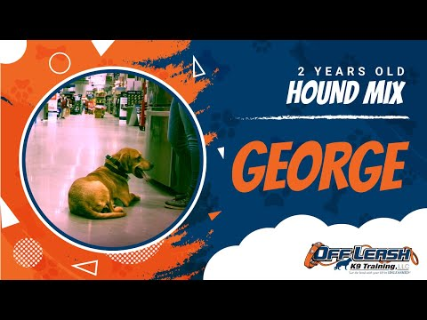 2 Year Old Hound Mix George!| Best Dog Trainers VA| 14 Day Transformation|E-Collar Training